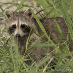 Racoon (Procyon lotor) in grass